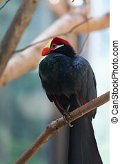 The violet Turaco (Musophaga violacea) - It measures about...