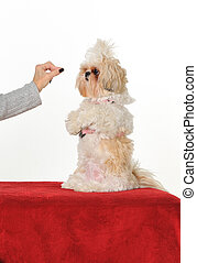 Dog Trainer - A dog trainer teaching a puppy to sit up for a...