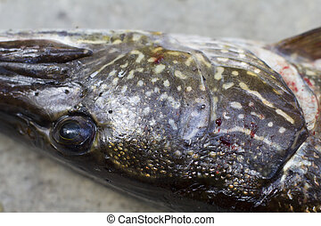 nothern pike - closeup of a northern pike head on a table