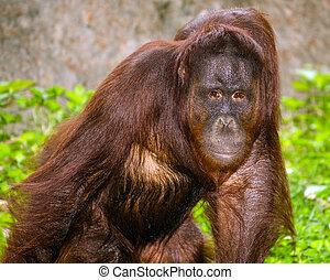 Portrait of Orangutan (Pongo pygmaeus) with serious pose