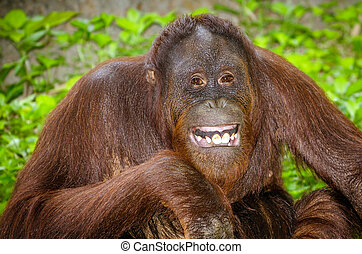 Portrait of Orangutan smiling - Portrait of Orangutan Pongo...