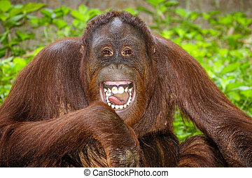 Portrait of Orangutan laughing - Portrait of Orangutan Pongo...