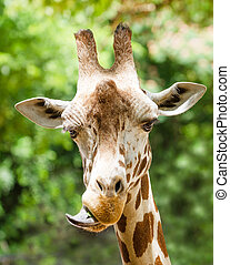 Giraffe (Giraffa camelopardalis) - Close up portrait of...