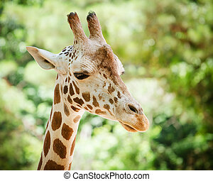 Giraffe Giraffa camelopardalis - Close up portrait of...