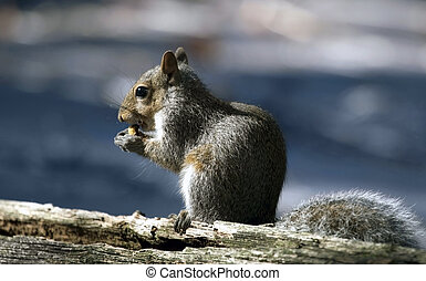 Squirrel eating a nut - Squirrel seating on trunk of old...