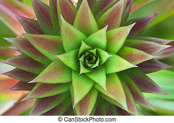 Closeup on pineapple plant