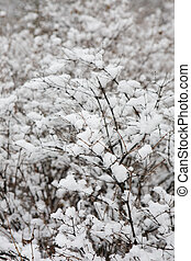 branch of baccate bush in to snow on a background other...