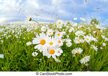 chamomile flowers on summer meadow