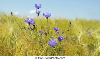 cornflowers in the wheat field