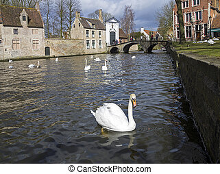 Swans on the canal in Bruges, Belgium. - Swans on the canal...