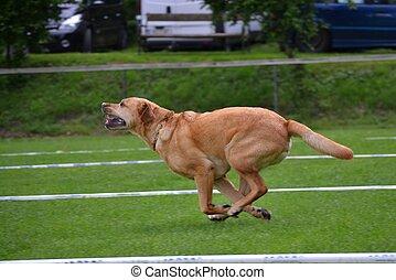 grosser Hund laeuft Wiese entlang - grosser brauner Hund in...