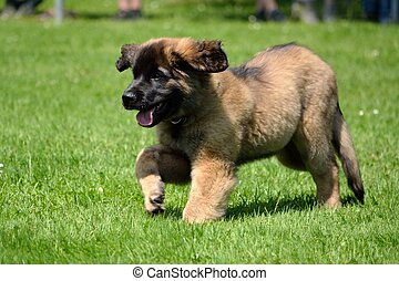 Stock Photo of Leonberger puppy - Cute social leonberger puppy ...