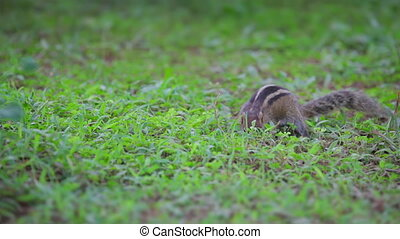 Chipmunk eats on the grass - Video 1920x1080 - Chipmunk eats...