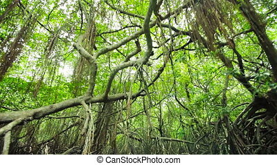 dense mangroves and hanging roots - Video 1920x1080 - The...