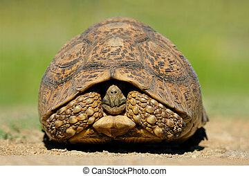 Mountain tortoise Geochelone pardalis in natural...