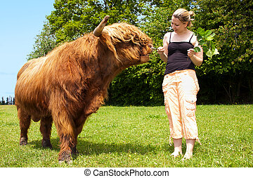 woman is feeding an highland cattle - pretty woman is...