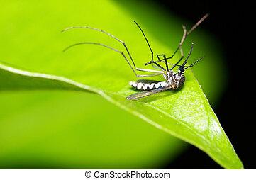 dead body of mosquito - A dead body of mosquito on a green...