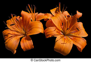 Orange Lily Flowers - Lilium - Close up of blooming orange...