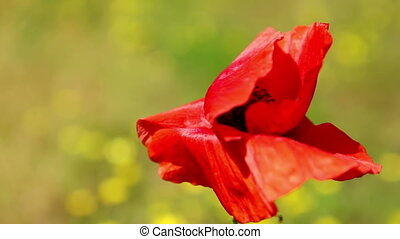 Poppy flower closeup