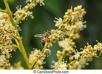 Honey bee collects flower nectar from longan flower in farm...