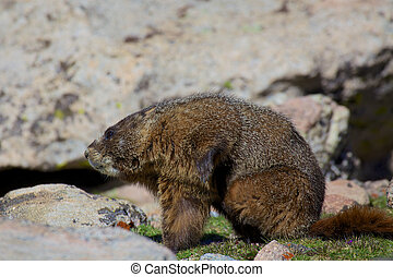 Marmot - a yellow-bellied marmot in the high alpine