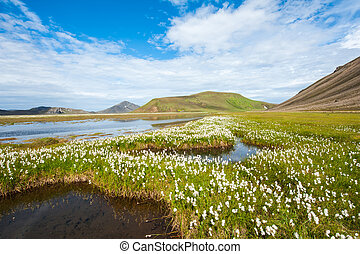 Landmannalaugar - Field of cotton grass in a valley...