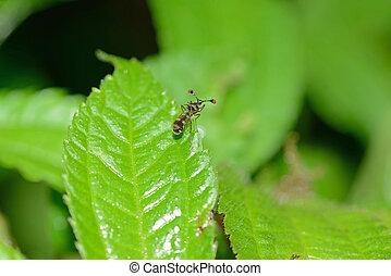 Vietnamese stalk-eyed fly - Stalk-eyed fly from North...