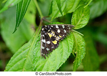 Seedy tropical butterfly - Old butterfly from North Vietnam