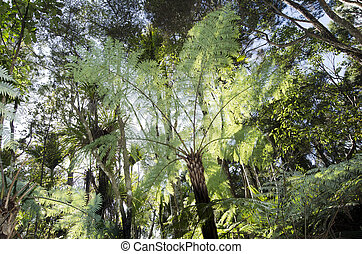 New Zealand Plants - Silver tree fern - WHANGAROA, NZ - JUNE...