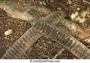 carob - fruit of carob under carob tree