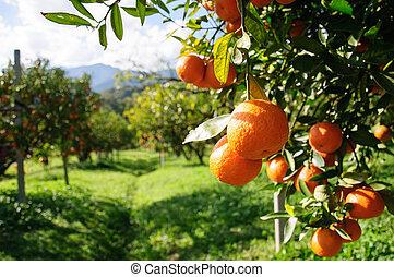 Orange tree in field