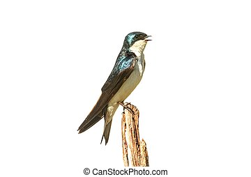 Tree Swallow on a stump isolated on white - Tree Swallow...