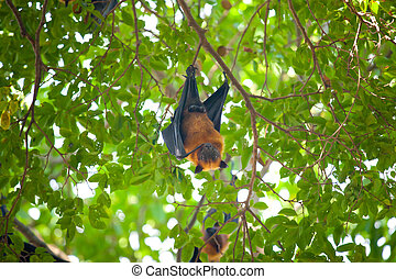 Flying foxes hang on tree branches