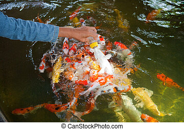 Feeding Carp fish with baby milk bottle