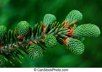 Pine Tree New Growth Up Close - New growth on a pine tree...