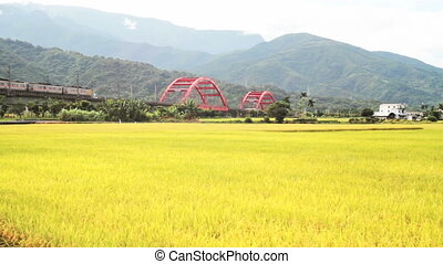 Paddy field in the morning