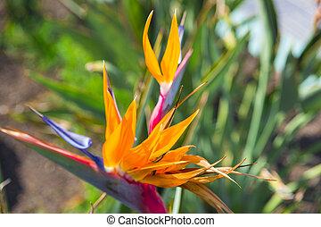 Strelizia flower