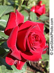 Intense red rose - Closeup of a beautiful intense red rose