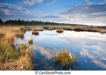 swamp with cotton-grass and blue sky