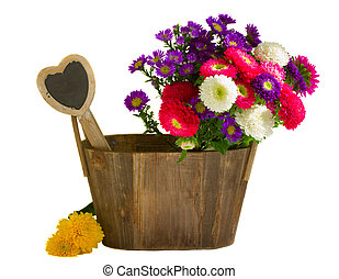aster flowers in wooden pot   isolated on white background