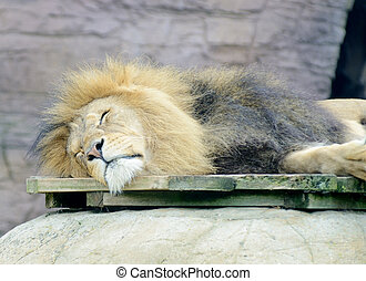 Lion sleeping - A lone male lion is sleeping looking...