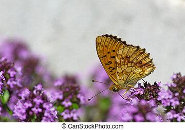 Lesser Marbled Fritillary Brenthis ino underneath - The...
