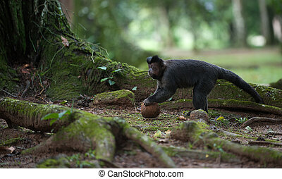 Tufted Capuchin with a coconut - A Tufted Capuchin with a...