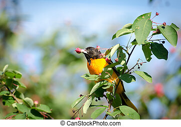 Baltimore oriole - Male baltimore oriole eating red berries...