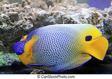 blue tang, marine coral fish, closeup of photo