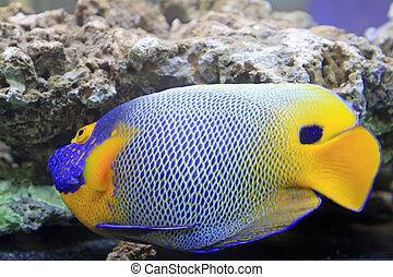 blue tang, marine coral fish - blue tang, marine coral fish,...