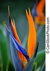 strelitzia reginae - Close up of new strelitzia reginae...