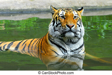 Siberian Tiger in water - Siberian Tiger in the water