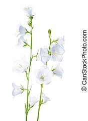 bell flower isolated on a white background - white bell...
