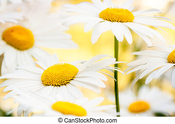 Grunge stained paper background with camomile afield